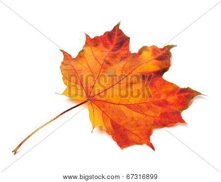 Orange Autumn Maple-leaf