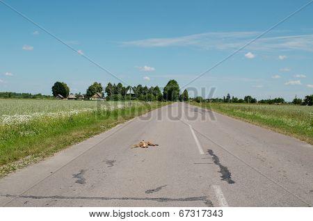 Car Killed Dead Fox Animal Body Lay On Road