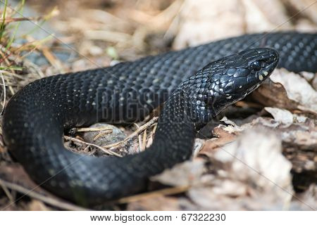 Grass Snake Or Natrix Natrix In A Unusual Black Skin