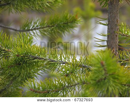 Landscape Nature. Cedar Forest. Branch Of The Cedar.