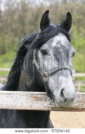 Portrait of grey horse in your corral