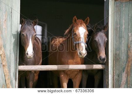 Horses in the stable door