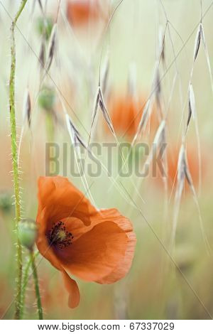 red poppy spring flower. Background with poppies in grass meadow. These beautiful field flowers are wildflowers and are the symbol of remembrance day. Papaver rhoeas.