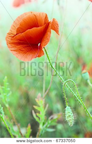 red poppy flower in grass meadow. Papaver rhoeas is the symbol of remembrance day and flanders fields. These poppies are red spring flowers