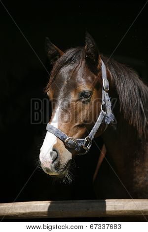Portrait of beautiful thoroughbred horse in the stable.