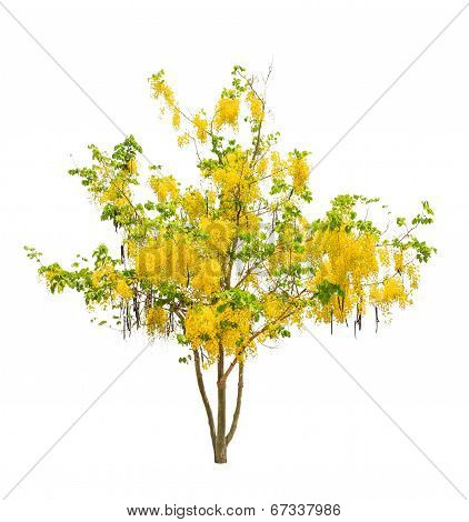Golden Shower Tree (cassia Fistula), Tropical Tree In The Northeast Of Thailand Isolated On White Ba