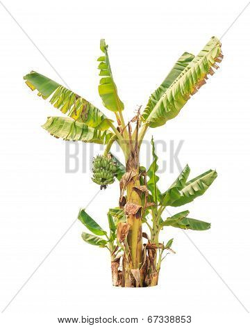 Banana Trees, Tropical Tree In The Northeast Of Thailand Isolated On White Background