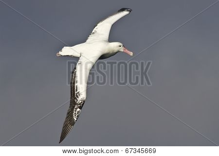 Royal Albatross Hovering Over The Waters Of The Atlantic Ocean Overcast Day