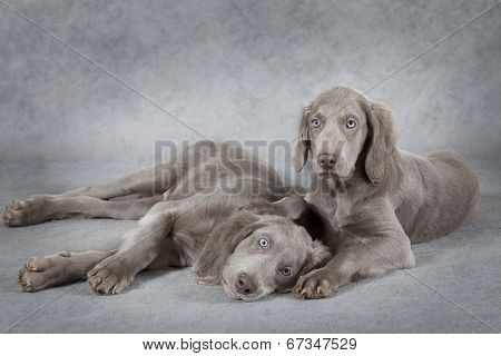 Weimaraner Puppies In Front Of Grey Background