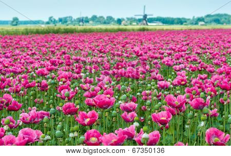 Papaver Cultivation In The Netherlands