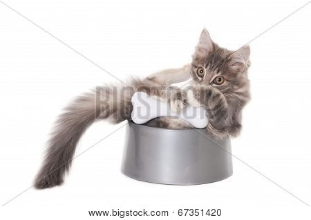 Grey kitten in dog's bowl