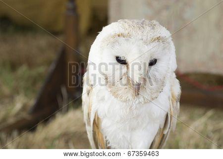 Barn Owl, UK