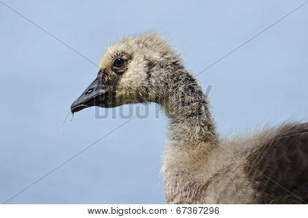 Canada Goose Gosling Profile