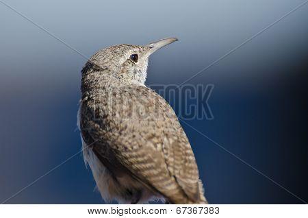 Profile Of A Rock Wren
