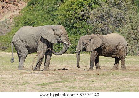 Wild Desert Elephants in Namibia Africa