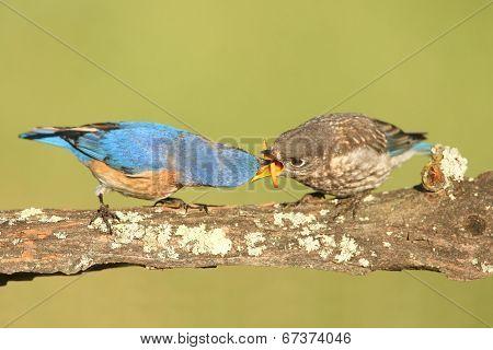 Eastern Bluebirds (sialia Sialis)