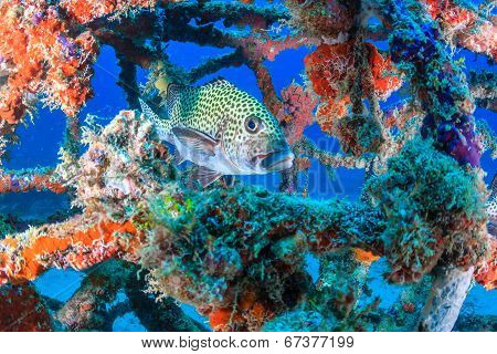 Sweetlips and tropical fish