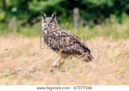 Eagle Owl In a Field