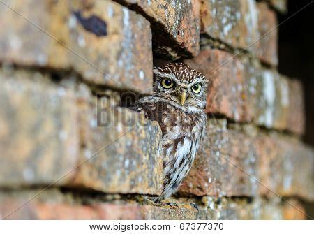 Little Owl Hiding In An Old Wall