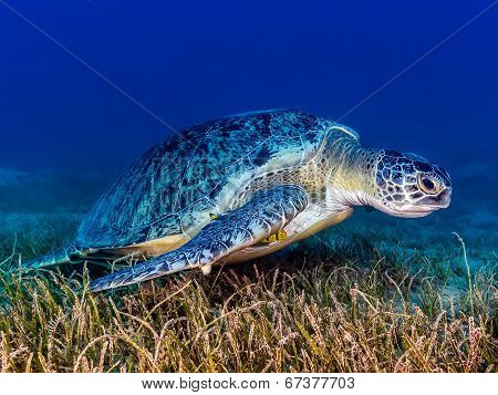 Green Turtle With Remora