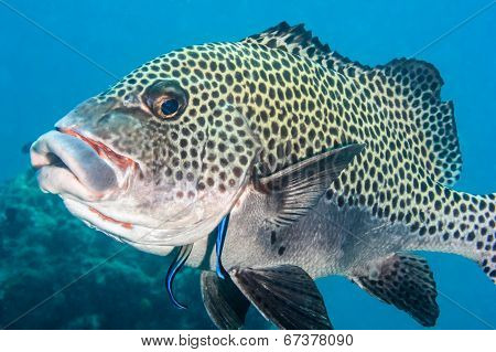 Sweetlips Getting Cleaned - Kapali Island