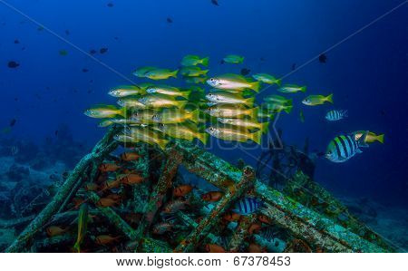 Colorful snapper underwater