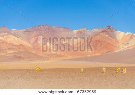 Vicunas in Salvador Dali Desert, Eduardo Avaroa Andean Fauna National Reserve, Sur Lipez,  Bolivia