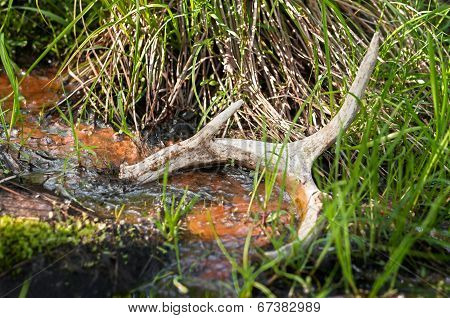 White-Tailed Deer (Odocoileus virginianus) Antler Shed In Pond