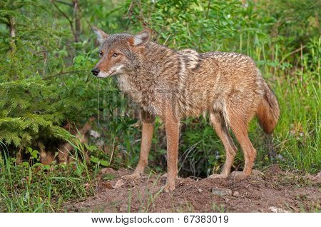 Coyote (Canis latrans) Wary Outside Den