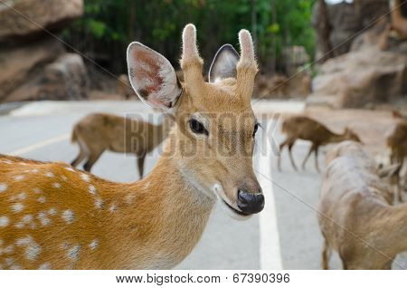 Chital ,Deer In Zoo