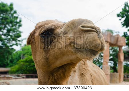 Funny Camel Portrait.