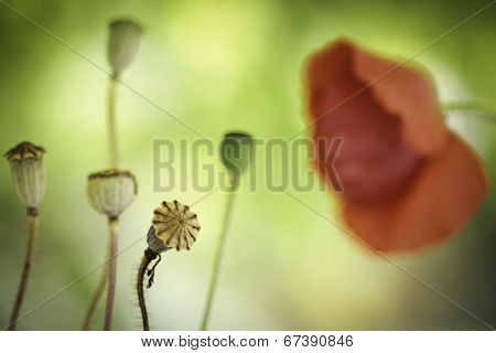 poppy flower close up wildflower background with red blooms and buds. Papaver rhoeas. Summer field flowers