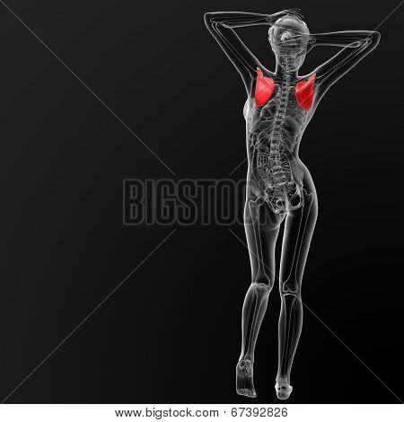 Scapula Bone
