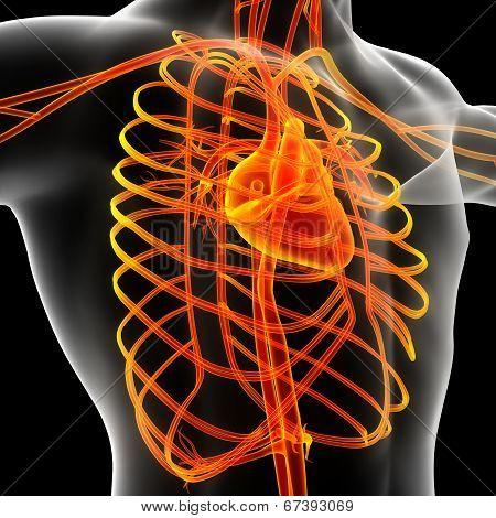 Male Vascular System