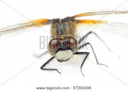 Dragonfly With Huge Multifaceted Eyes Macro Isolated On White Background