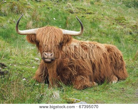 Highland Cattle, Western Scotland Highlands