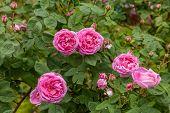 image of century plant  - The famous Rosa Centifolia Foliacea  - JPG