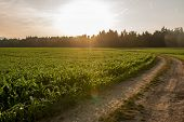 picture of maize  - Sunrise over a field of young fresh green maize plants in an agricultural field with the sun rising over a line of trees at the end of a curving farm track - JPG