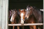 Purebred youngsters in the barn poster