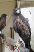 foto of falcon  - Tewkesbury Medieval festival - JPG