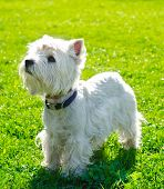 foto of west highland white terrier  - west highland white terrier on the grass - JPG