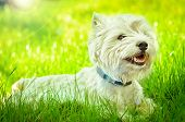 stock photo of westie  - west highland white terrier on the grass