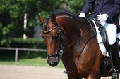 stock photo of horse-breeding  - Bay horse portrait during horse dressage competition - JPG
