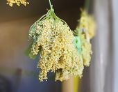picture of elderflower  - Dry elderflowers on the green cord near the window - JPG