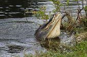 picture of crocodilian  - American alligator  - JPG