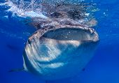 picture of gentle giant  - Whale shark feeding near the ocean surface - JPG