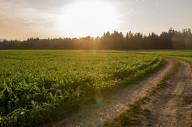image of track field  - Sunrise over a field of young fresh green maize plants in an agricultural field with the sun rising over a line of trees at the end of a curving farm track - JPG