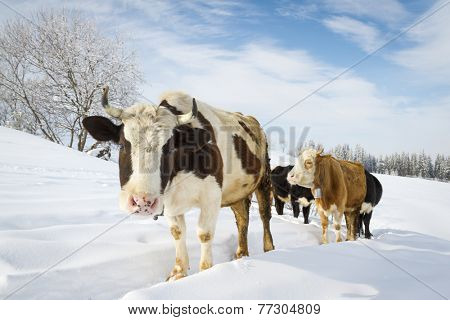 Cows in the snowy mountains at sunny day