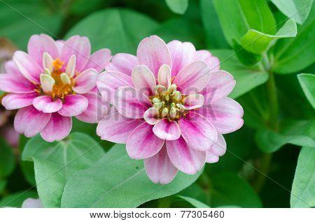 Zinnia Angustifolia Kunth