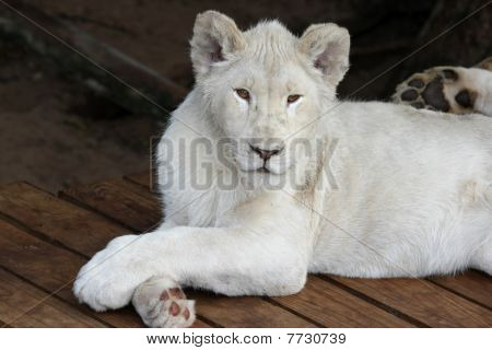 Casual White Lion